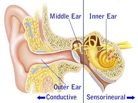 Outer, Middle, and Inner Ear